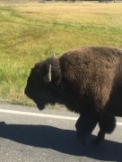 2015 08 13 Yellowstone Buffalo